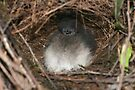Baby Lyre bird in the nest by Donovan Wilson