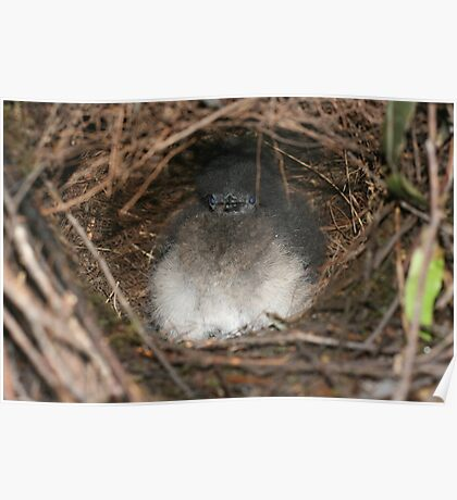 Baby Lyre bird in the nest Poster