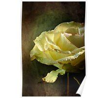 Yelllow rose Poster