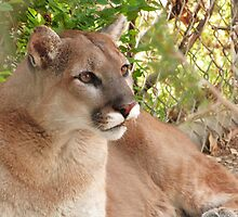 Mountain Lion of the Chihuahuan Desert, NM by GreyFeather