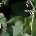 HOVERFLIES by Betsy  Seeton