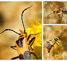 A Soldier Beetle by Betsy  Seeton