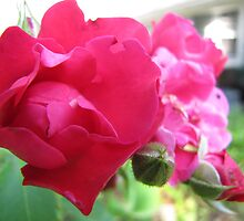 Kennebunk Beach Rose by kgarrahan