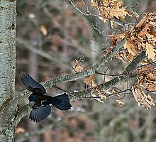 Common Grackle In Flight by mlaprade