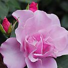 Bewitched Hybrid Tea Rose by Robert Armendariz