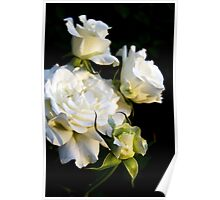 White Masterpiece Roses - bud to full bloom Poster