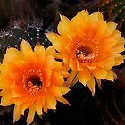 Orange Cactus Flowers by Saija  Lehtonen