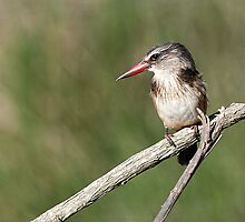 The Brown-hooded Kingfisher (Halcyon albiventris) 3 by Warren. A. Williams