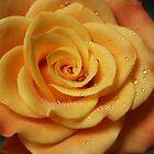 Birthday Rose by karina5