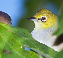 Fig-thieving Silvereye by Barry Armstead