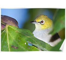 Fig-thieving Silvereye Poster