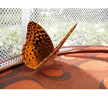 Aphrodite Butterfly Photographic Print
