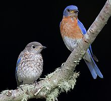 Eastern Bluebirds by Rob Lavoie