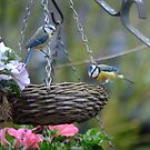 Blue tits having a meal by Nicole W.