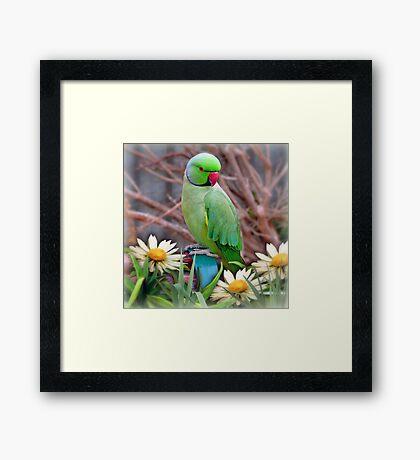 Pretty Please - (Parakeet) Framed Print