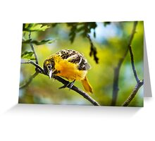 Baltimore Oriole Bird Art Greeting Card