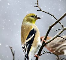 Christmas Goldfinch Art by Christina Rollo
