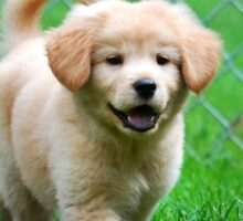 Golden Retriever Puppy Sticker