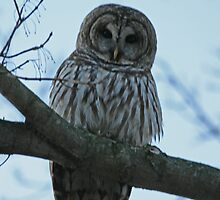 Barred Owl  by Carol Bock