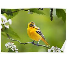 Baltimore Oriole Bird and Blooms  Poster
