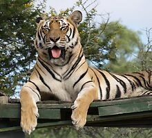 Tiger with his Tongue Out by RachelSheree