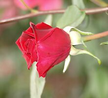 Single Red Rose by RachelSheree