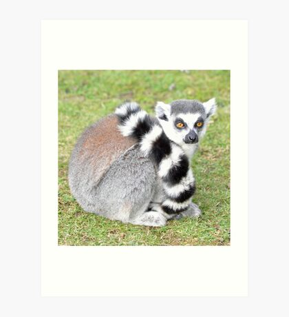 Ringed Tail Lemur Art Print
