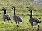 canada geese, out for a walk by tego53