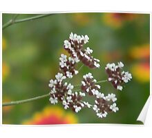Hedge Parsley Going to Seed Poster