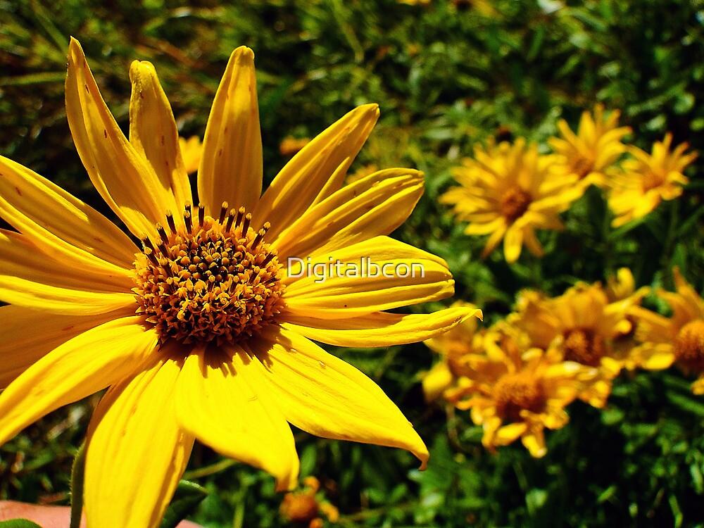 Prairie Sunflower - Helianthus petiolaris by Digitalbcon