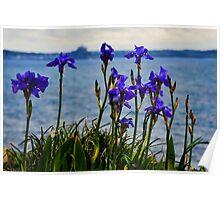 Coastal Irises  Poster
