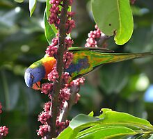 Underneath the Rainbow Lorikeet by TheaShutterbug