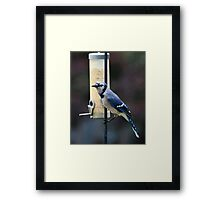 Blue Jay at Feeder Framed Print