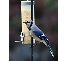 Blue Jay at Feeder Photographic Print