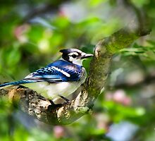 Colorful Spring Blue Jay Bird Art by Christina Rollo