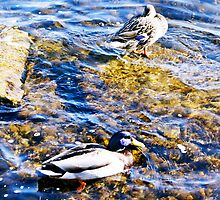St. Lawrence River (Ducks) by jjustinico
