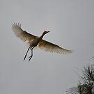 Cattle Egret in Flight by TheaShutterbug