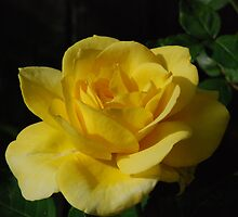 Yellow Rose Close Up by Mark McReynolds