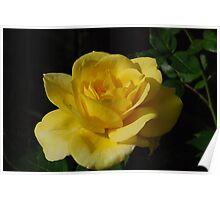 Yellow Rose Close Up Poster