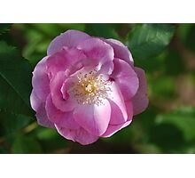 Pink Rose Close Up Photographic Print