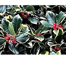 Holly Berries and Leaves Photographic Print