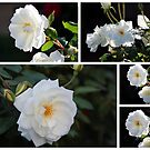 White Heritage Rose Collage by alycanon