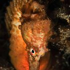 Big Bellied Seahorse by MattTworkowski