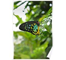 Cairns Birdwing Butterfly Poster