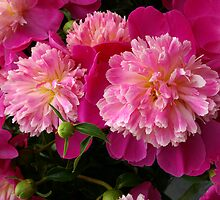 Peonies 9 by Tom  Reynen
