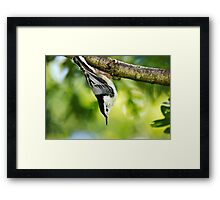 White Breasted Nuthatch Wild Bird Art Framed Print