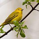 Spring Yellow Warbler by Janika