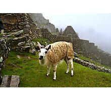 Llama in Machu Picchu ruins Photographic Print
