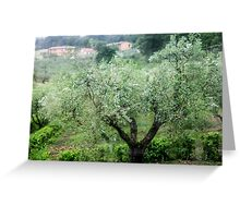Olive tree (Olea europaea) Photographed in Umbria, Italy  Greeting Card