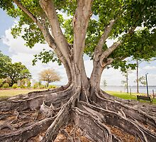 Mysore Fig Tree at Fort Myers, Florida by Bonnie T.  Barry
